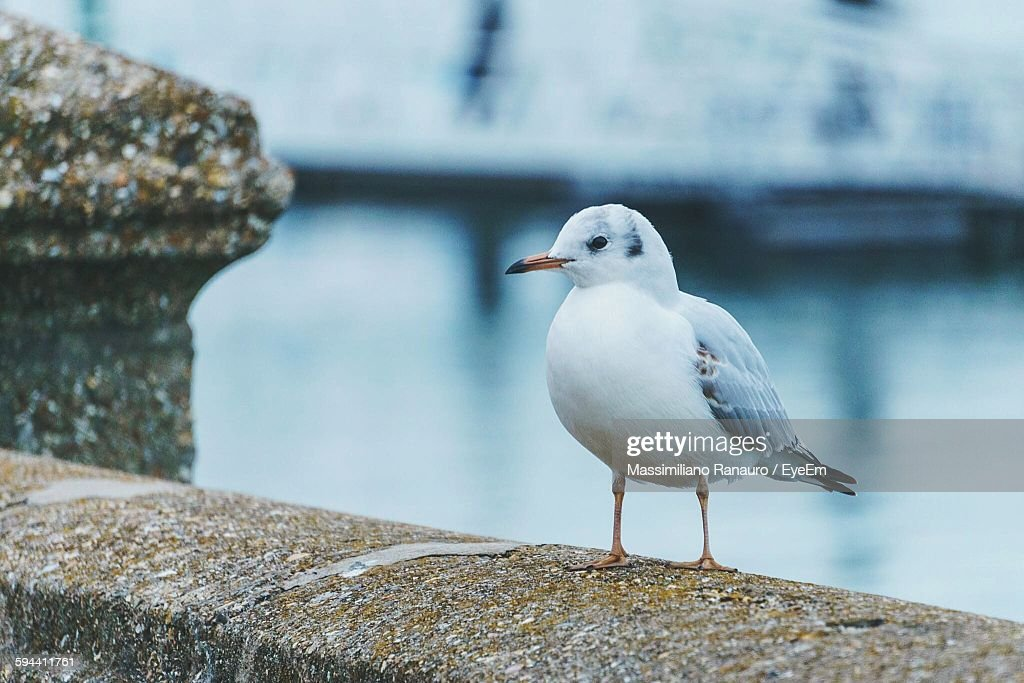 Close-Up Of Seagull On Retaining Wall : Stock Photo