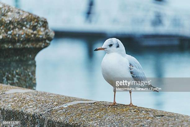 close-up of seagull on retaining wall - massimiliano ranauro stock pictures, royalty-free photos & images