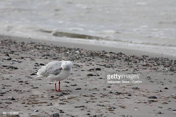 close-up of seagull on sand at beach - fischland darss zingst photos et images de collection