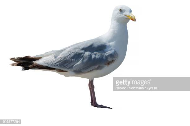 close-up of seagull on white background - gaivota - fotografias e filmes do acervo