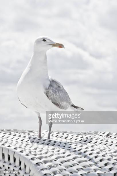 close-up of seagull perching against sky - bec photos et images de collection