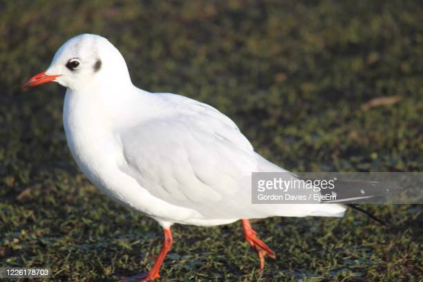 close-up of seagull perching on a field - stockton on tees stock pictures, royalty-free photos & images