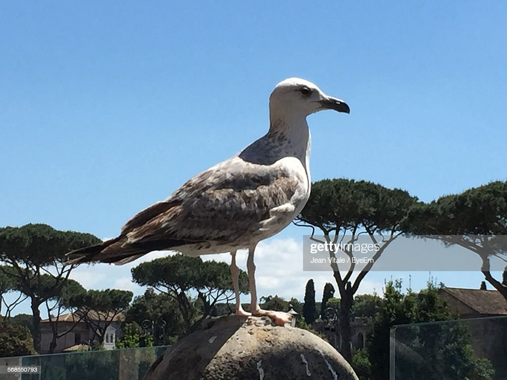 Close-Up Of Seagull Perching On Bollard Against Clear Sky : Stock Photo