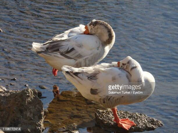 close-up of seagull perching on lake - solomon turkel stock pictures, royalty-free photos & images