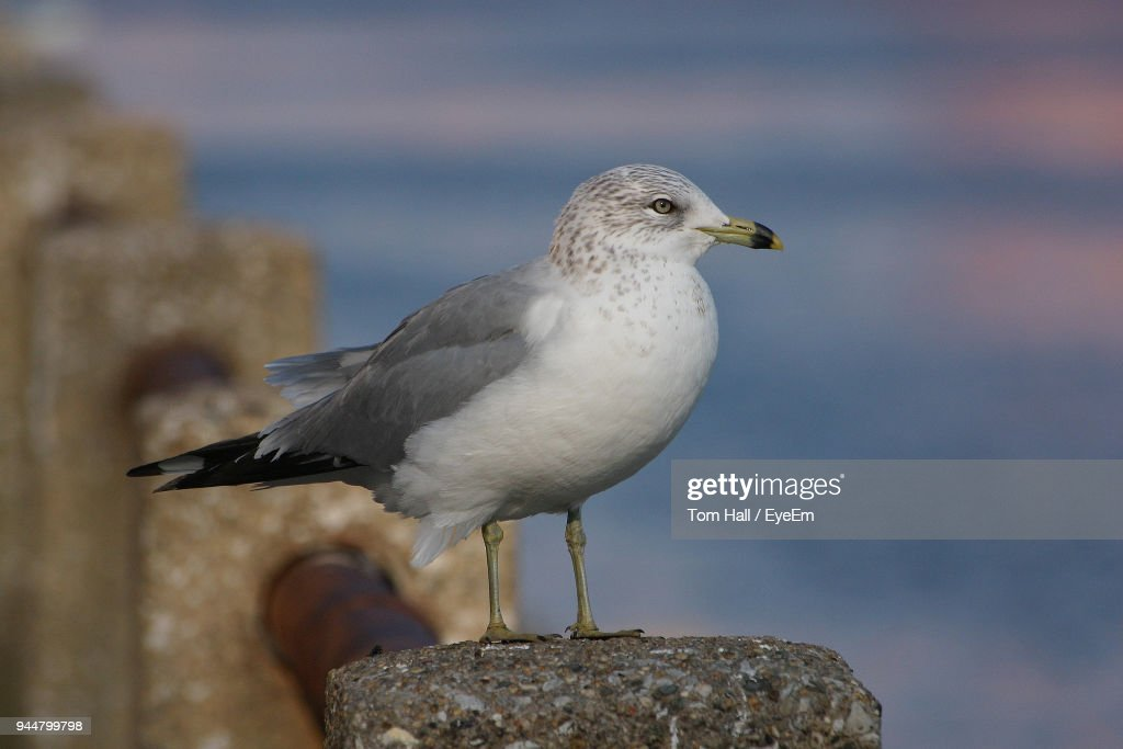 Close-Up Of Seagull Perching On Railing During Sunset : Stock Photo