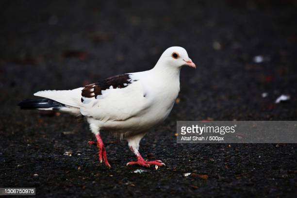 close-up of seagull perching on street,wardown park,united kingdom,uk - domestic animals stock pictures, royalty-free photos & images