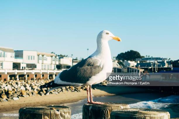 Close-Up Of Seagull Perching On Wooden Post Against Clear Sky