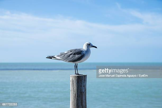 Close-Up Of Seagull Perching On Wooden Post By Sea