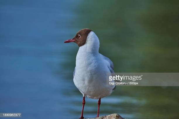 close-up of seagull perching on wooden post,northampton,united kingdom,uk - northampton stock pictures, royalty-free photos & images