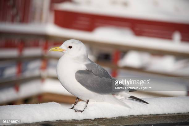 close-up of seagull perching outdoors - marek stefunko stockfoto's en -beelden