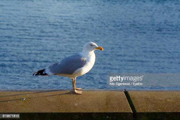Close-Up Of Seagull Perching Over Retaining Wall By Sea
