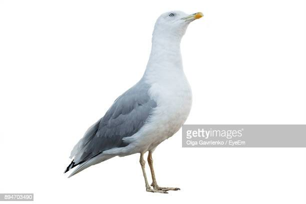 Close-Up Of Seagull Perching Over White Background