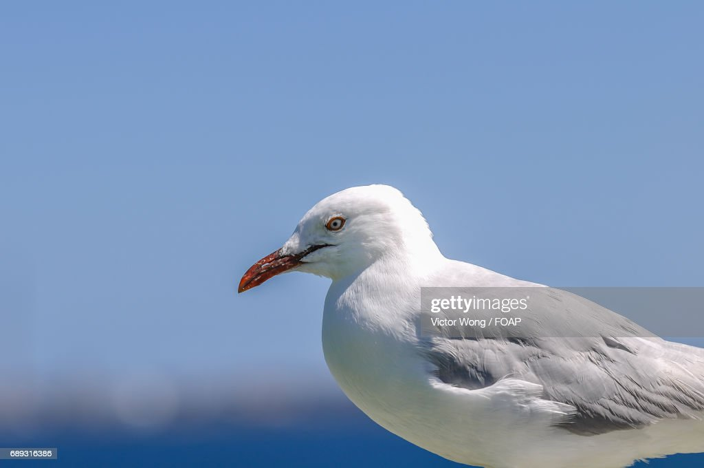 Close-up of seagull : Stock Photo