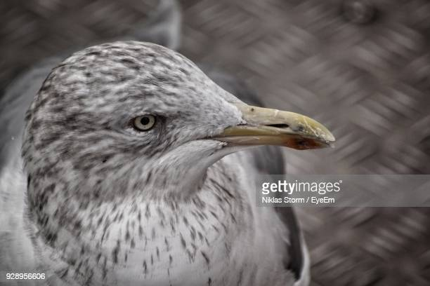 close-up of seagull - niklas storm eyeem stock photos and pictures