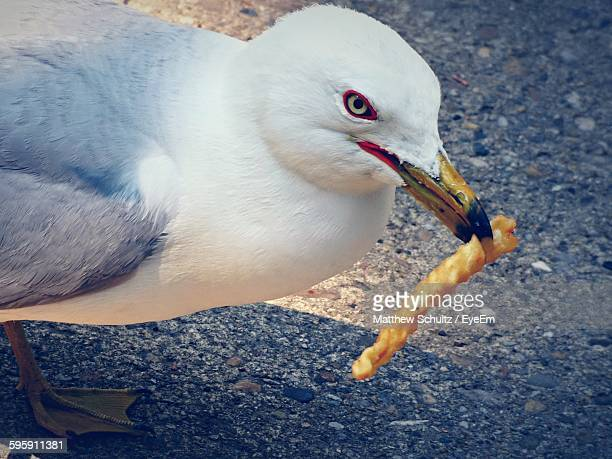 Close-Up Of Seagull With French Fries In Beak