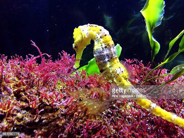Close-Up Of Seahorse Swimming In Sea