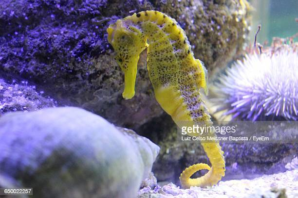 close-up of seahorse undersea - sea horse stock photos and pictures