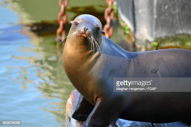 close-up of seal fish - meghan stock photos and pictures