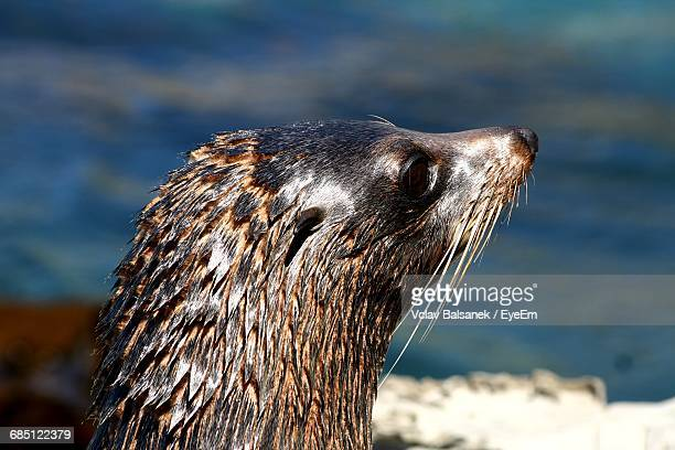 Close-Up Of Seal Looking Away