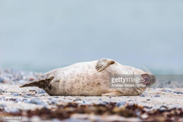 close-up of seal on beach,helgoland,germany - kegelrobbe stock pictures, royalty-free photos & images