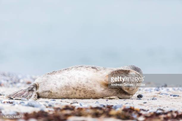 close-up of seal on rock at beach,helgoland,germany - kegelrobbe stock pictures, royalty-free photos & images
