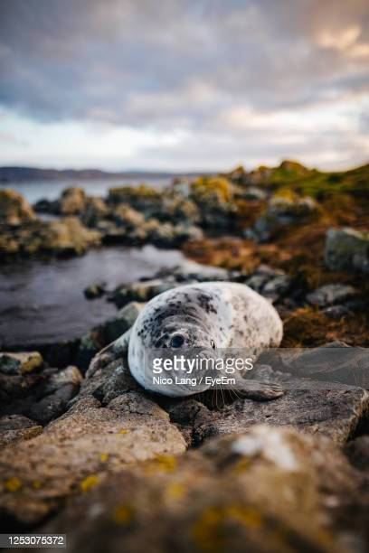 close-up of seal on rock - belfast stock pictures, royalty-free photos & images