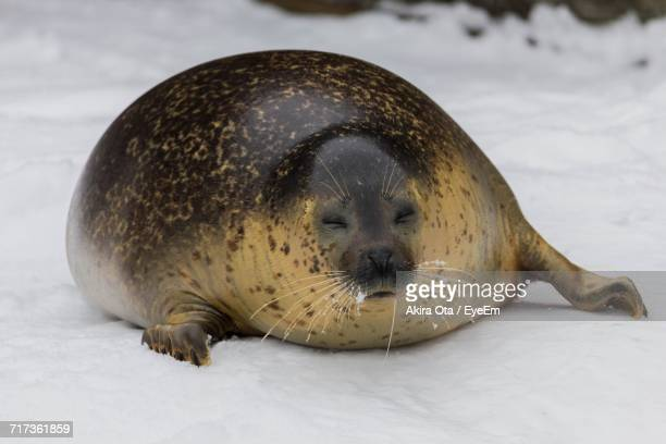 close-up of seal on snow - seal animal stock pictures, royalty-free photos & images