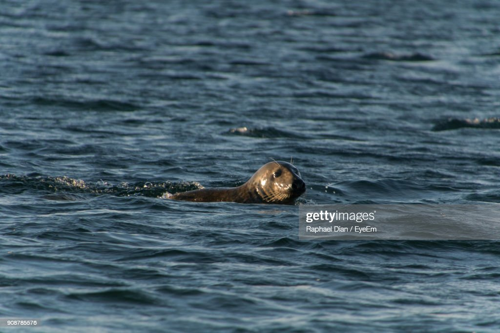 Close-Up Of Seal Swimming In Sea : Stock Photo