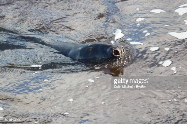 close-up of seal swimming in water - stockton on tees stock pictures, royalty-free photos & images