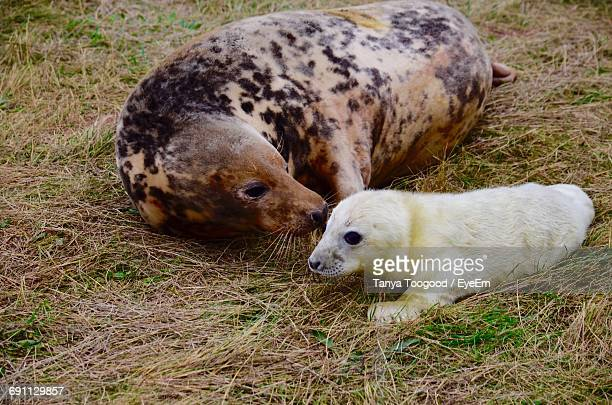 Close-Up Of Seals On Grassy Field