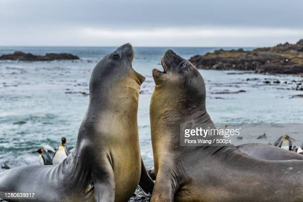 close-up of seals on rock in sea,macquarie island,australia - wang he stock pictures, royalty-free photos & images