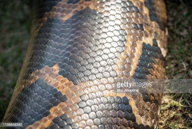 close-up of seamless snakeskin pattern and textures. - animal body stock pictures, royalty-free photos & images