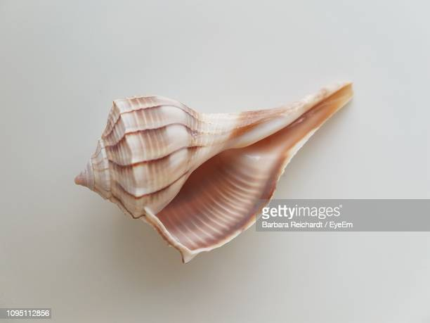 close-up of seashell over white background - seashell stock pictures, royalty-free photos & images