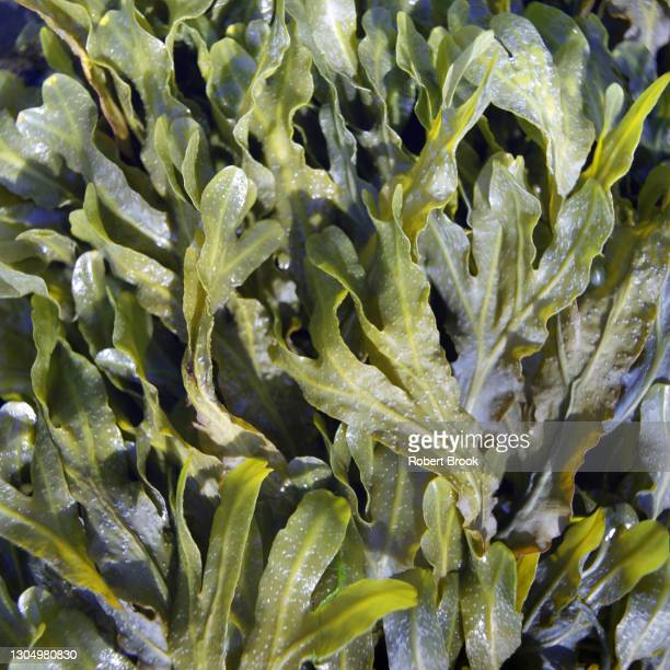 close-up of seaweed. - 食物連鎖 ストックフォトと画像