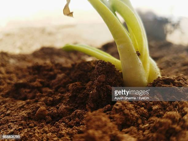 Close-Up Of Seedling Growing In Soil