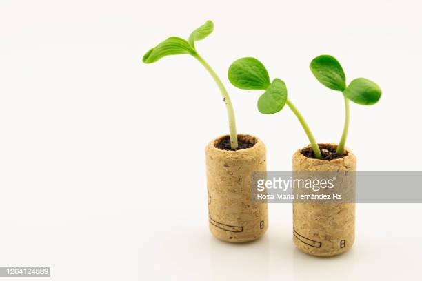 close-up of seedling plant growing out wine corks stopper isolated on white background. - cork stopper stock pictures, royalty-free photos & images