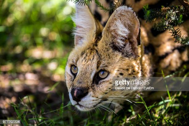 Close-Up Of Serval On Field