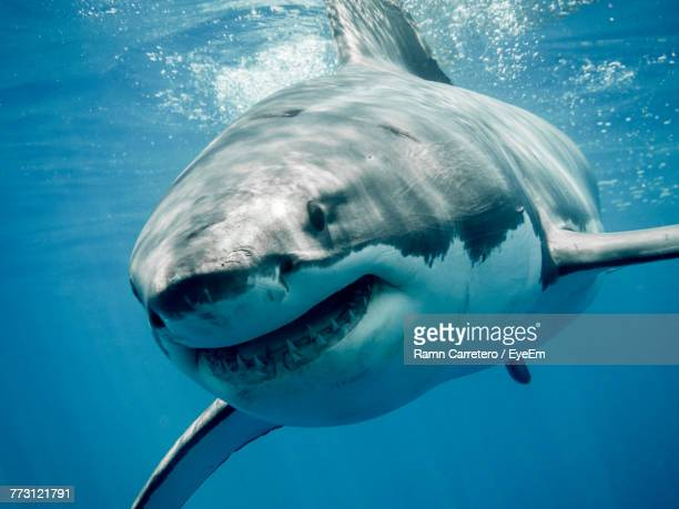 close-up of shark swimming in sea - great white shark stock photos and pictures