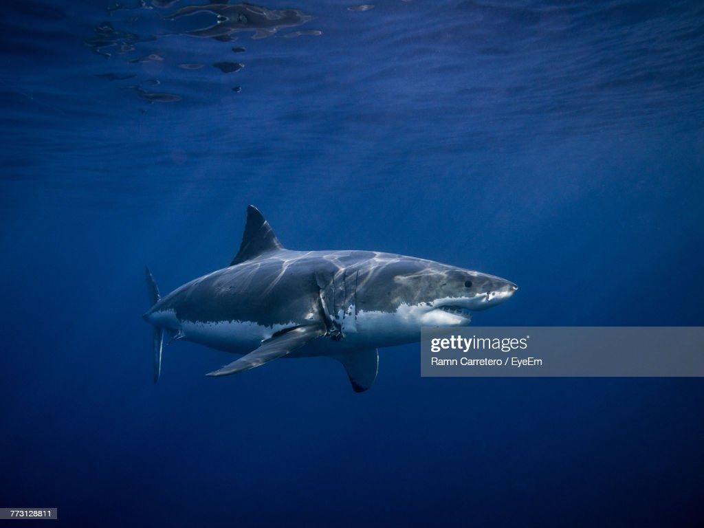 Close-Up Of Shark Swimming In Sea : Photo
