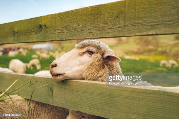 close-up of sheep in animal pen - gangwon province stock pictures, royalty-free photos & images