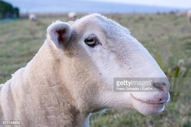close-up of sheep on field - frank schrader stock pictures, royalty-free photos & images