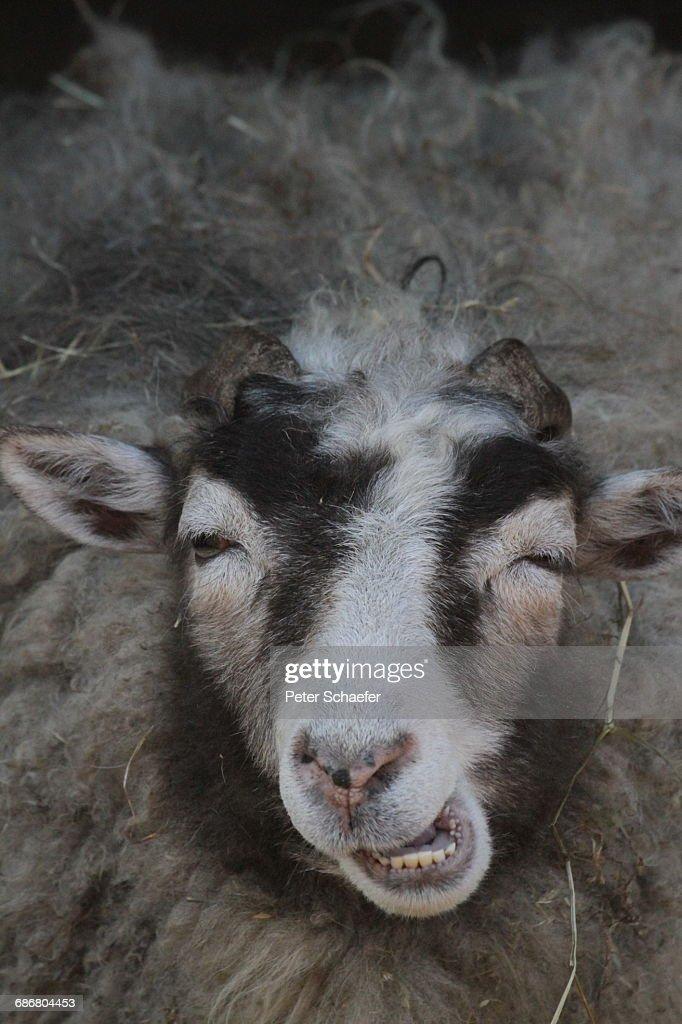 Close-Up Of Sheep : Stock Photo