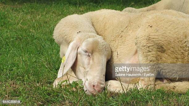 Close-Up Of Sheep Resting Grassy Field