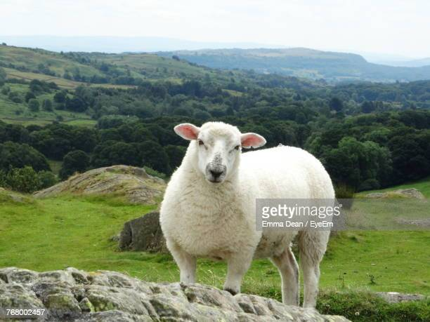 close-up of sheep standing on field against landscape - sheep stock pictures, royalty-free photos & images
