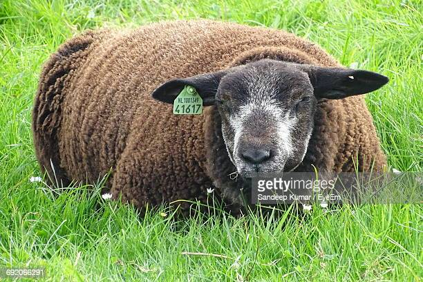 Close-Up Of Sheep With Livestock Tag Resting On Grassy Field