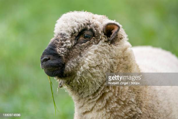 close-up of sheep,seefeld,bad oldesloe,germany - norbert zingel stock-fotos und bilder