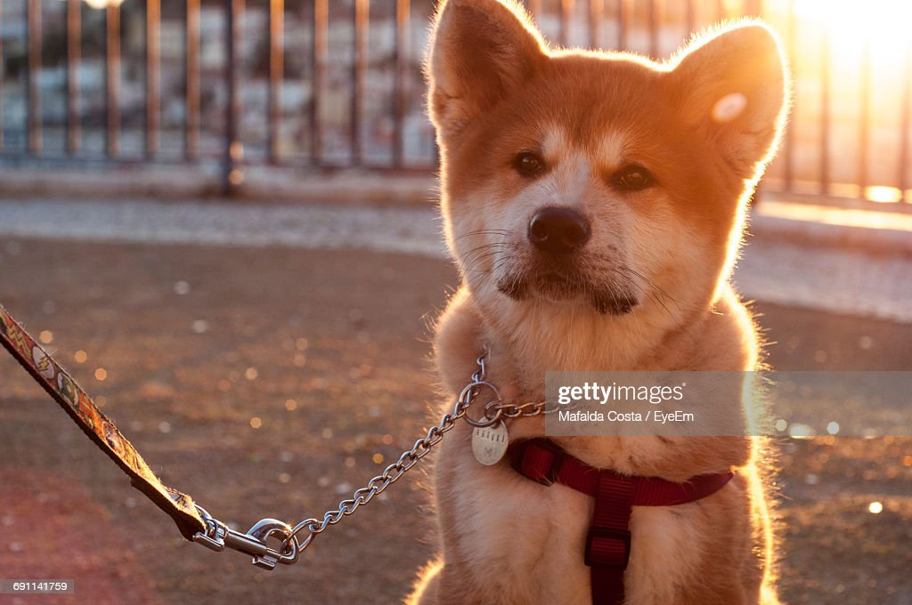 Close-Up Of Shiba Inu Looking Away On Footpath During Sunset : Stock-Foto