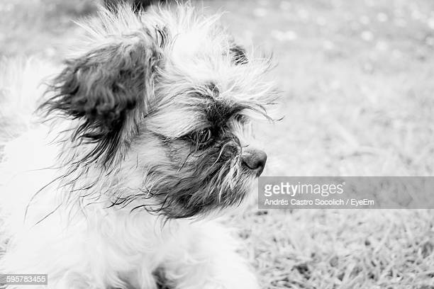 Close-Up Of Shih Tzu Looking Away Outdoors