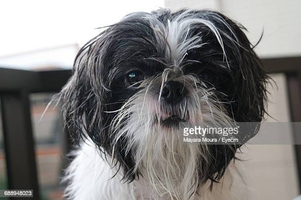 Close-Up Of Shih Tzu