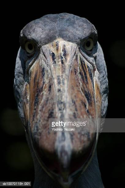 Close-up of Shoebill (Balaeniceps rex) looking at camera